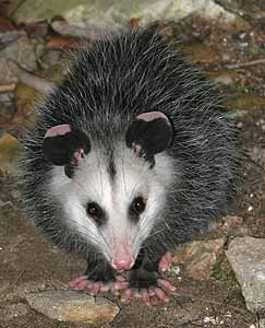 Image Result For Opossum Can It