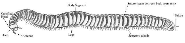 millipedes at petroglyph national monument rh scienceviews com Lamprey Diagram Salamander Diagram