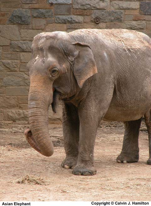 Bitch scientific name for asian elephant