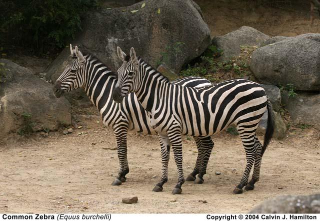 Zebra Scientific Name Common Zebra