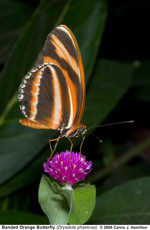 Butterfly Listing by Common Name  Art Shapiros Butterfly